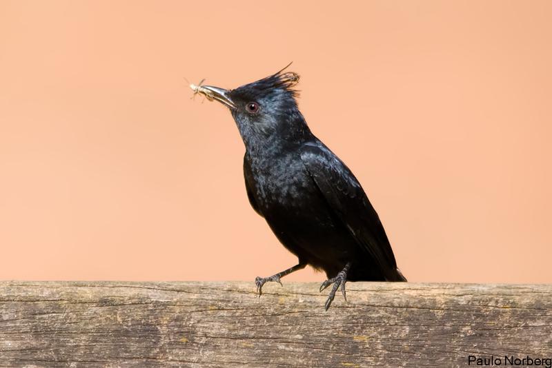 Knipolegus lophotes<br /> Maria-preta-de-penacho imaturo<br /> Crested Black-Tyrant immature<br /> Viudita copetona