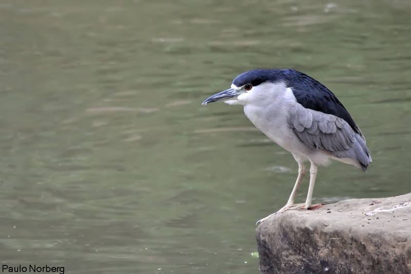 Nycticorax nycticorax<br /> Savacu<br /> Black-crowned Night-Heron<br /> Garza bruja - Tajasu guyra