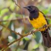 Pseudoleistes guirahuro<br /> Chopim-do-brejo<br /> Yellow-rumped Marshbird<br /> Pecho amarillo - Guyraûro