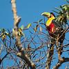 Ramphastos dicolorus<br /> Tucano-de-bico-verde<br /> Red-breasted Toucan<br /> Tucán pico verde - Tukâ'i
