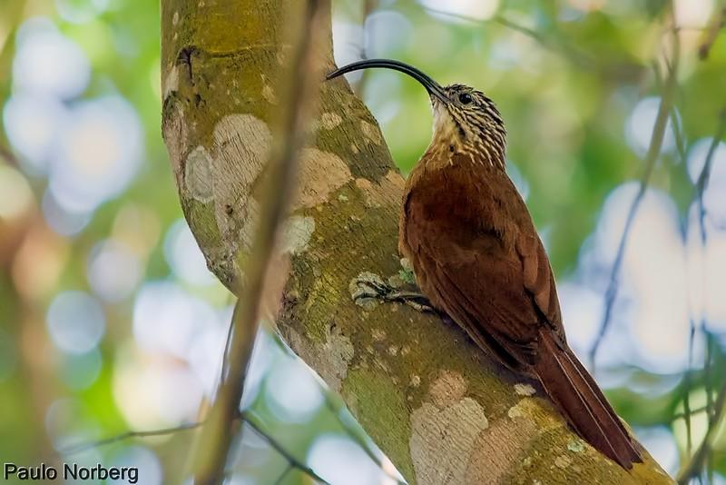 Campylorhamphus falcularius<br /> Arapaçu-de-bico-torto<br /> Black-billed Scythebill<br /> Picapalo de pico negro