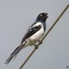 Cissopis leverianus<br /> Tietinga<br /> Magpie Tanager<br /> Frutero overo - Aka'ê morotî michi