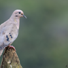 Zenaida auriculata<br /> Avoante<br /> Eared Dove<br /> Torcaza - Mbairari