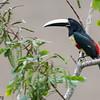 Pteroglossus aracari<br /> Araçari-de-bico-branco<br /> Black-necked Aracari<br /> Arasarí cuellinegro