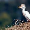 Bubulcus ibis<br /> Garça-vaqueira<br /> Cattle Egret<br /> Garcita bueyera - Hoko'i vaka