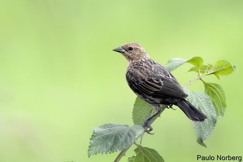 Chrysomus ruficapillus<br /> Garibaldi fêmea<br /> Chestnut-capped Blackbird<br /> Varillero congo - Guyra tagua