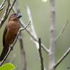 Sporophila angolensis<br /> Curió fêmea<br /> Chestnut-bellied Seed-Finch female<br /> Arrocero castaño - Kurio