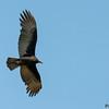 Cathartes burrovianus<br /> Urubu-de-cabeça-amarela-imaturo<br /> Lesser Yellow-headed Vulture immature<br /> Cuervo cabeza amarilla - Yryvu akâ sa'yju