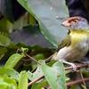 Cyclarhis gujanensis<br /> Pitiguari<br /> Rufous-browed Peppershrike<br /> Juan chiviro