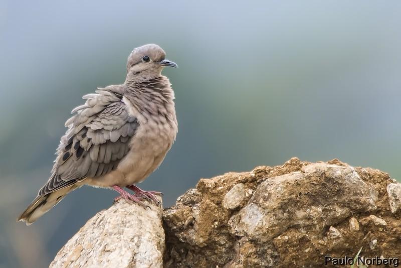 Zenaida auriculata<br /> Pomba-de-bando imaturo<br /> Eared Dove immature<br /> Torcaza - Mbairari