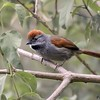 Synallaxis frontalis<br /> Petrim<br /> Sooty-fronted Spinetail<br /> Pijuí frente gris - Che tu'î