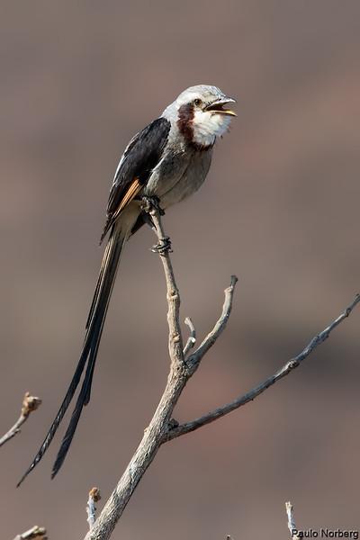 Gubernetes yetapa<br /> Tesoura-do-brejo<br /> Streamer-tailed Tyrant<br /> Yetapá grande - Jiperu