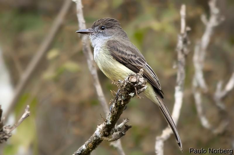 Myiarchus ferox<br /> Maria-cavaleira<br /> Short-crested Flycatcher<br /> Burlisto pico negro - Choperu