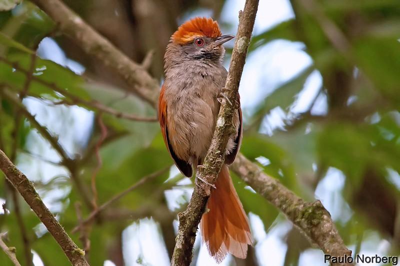Synallaxis ruficapilla<br /> Pichororé<br /> Rufous-capped Spinetail<br /> Pijuí corona rojiza - Turu kue