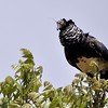 Anhima cornuta<br /> Anhuma<br /> Horned Screamer<br /> Chajá real - Añuma