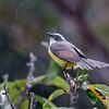 Myiozetetes cayanensis<br /> Bentevizinho-de-asa-ferrugínea<br /> Rusty-margined Flycatcher<br /> Pitogüé mediano alas rufas - Pitogue'i