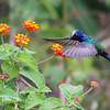 Eupetomena macroura<br /> Beija-flor-tesoura<br /> Swallow-tailed Hummingbird<br /> Picaflor tijereta - Mainumby jetapa