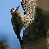 Colaptes melanochloros<br /> Pica-pau-verde-barrado<br /> Green-barred Woodpecker<br /> Carpintero real - Tinguere