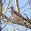 Zenaida auriculata<br /> Pomba-de-bando<br /> Eared Dove<br /> Torcaza - Mbairari