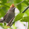 Mackenziaena severa<br /> Borralhara fêmea<br /> Tufted Antshrike female<br /> Batará-copetón - Akâ botô