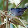 Haplospiza unicolor<br /> Cigarra-bambu<br /> Uniform Finch<br /> Afrechero plomizo - Pichochô
