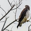 Geranoaetus albicaudatus<br /> Gavião-de-rabo-branco<br /> White-tailed Hawk<br /> Aguilucho alas largas - Kurukuturi