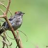 Lanio pileatus<br /> Tico-tico-rei-cinza<br /> Pileated Finch<br /> Brasita de fuego gris - Araguyra