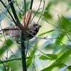 Sporophila frontalis<br /> Pixoxó<br /> Buffy-fronted Seedeater<br /> Corbatita olivaceo
