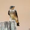 Stelgidopteryx ruficollis<br /> Andorinha-serradora<br /> Southern Rough-winged Swallow<br /> Golondrina ribereña - Mbyju'i