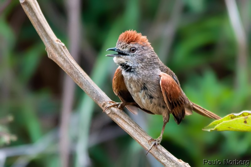 Synallaxis albescens<br /> Ui-pi<br /> Pale-breasted Spinetail<br /> Pijuí cola parda - Chikli