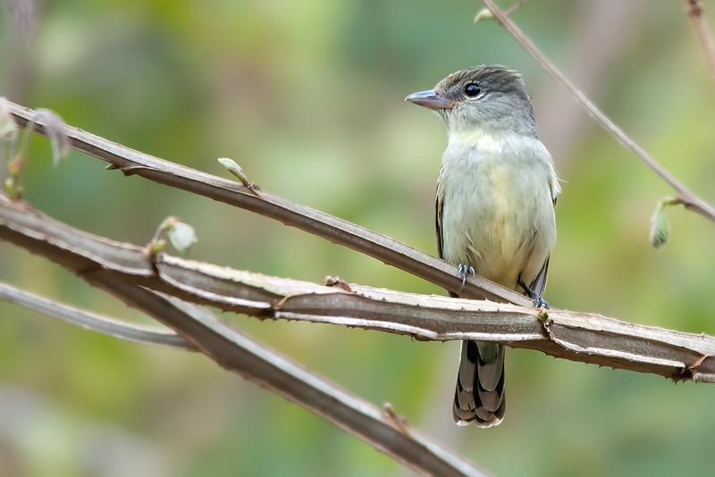 Pachyramphus polychopterus<br /> Caneleiro-preto fêmea<br /> White-winged Becard<br /> Anambé negro - Anambe hû