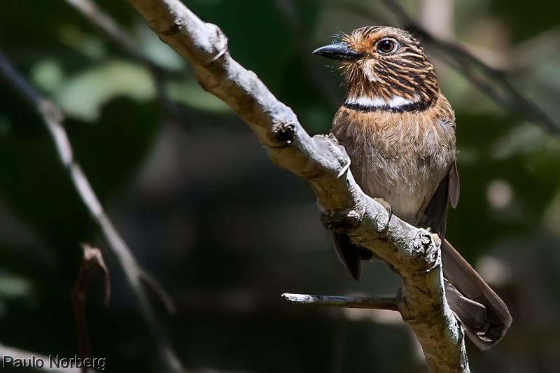 Malacoptila striata<br /> Barbudo-rajado<br /> Crescent-chested Puffbird<br /> Chacurú rayado