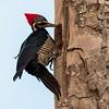 Dryocopus lineatus<br /> Pica-pau-de-banda-branca<br /> Lineated Woodpecker<br /> Carpintero garganta estriada - Ypekû tape