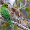 Psittacara leucophthalmus<br /> Periquitão-maracanã<br /> White-eyed Parakeet<br /> Maracaná ala roja - Arua'i
