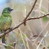 Tersina viridis<br /> Saí-andorinha fêmea<br /> Swallow Tanager female<br /> Tersina - Piririguitî