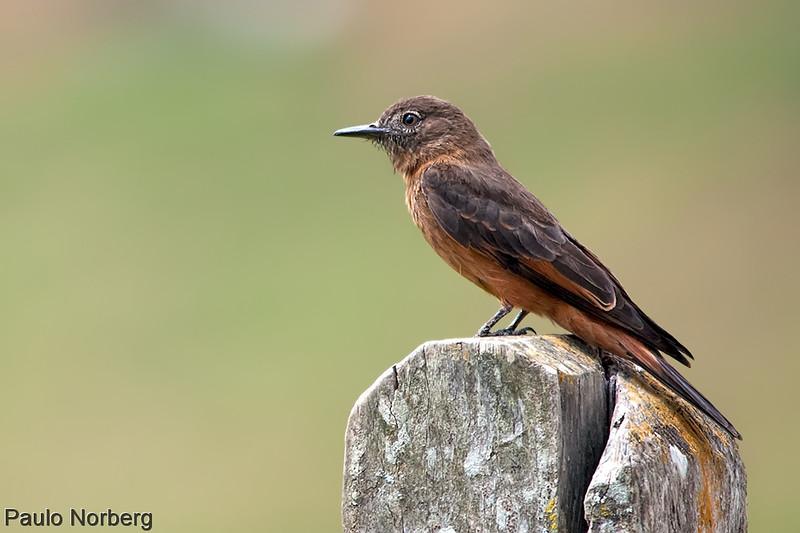 Hirundinea ferruginea<br /> Gibão-de-couro<br /> Cliff Flycatcher<br /> Birro castaño