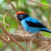 Chiroxiphia caudata<br /> Tangará-dançarino<br /> Swallow-tailed Manakin<br /> Bailarín azul - Saraki hovy