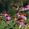 Goldfinch flying by Purple Coneflowers.