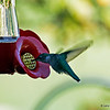Ruby-throated Hummingbird at feeder.