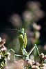 Hand-held, 1Ds Mk II, with Leica 100 APO. This mantis is lurking in a rabbit bush by the front door. The bush is incredibly fragrant, attracting many flying insects.