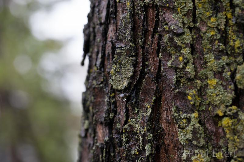 Maple tree trunk on a rainy day