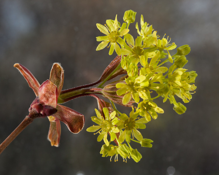 The bloom of flowers on a maple tree in springtime.