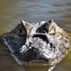 Caiman latirostris<br /> Jacaré-de-papo-amarelo<br /> Broad-snouted caiman<br /> Yacaré overo - Yacaré Ñato
