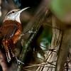 Cantorchilus longirostris<br /> Garrinchão-de-bico-grande<br /> Long-billed Wren<br /> Ratona de pico largo