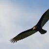Cathartes burrovianus<br /> Urubu-de-cabeça-amarela<br /> Lesser Yellow-headed Vulture<br /> Cuervo cabeza amarilla - Yryvu akâ sa'yju