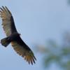 Cathartes aura<br /> Urubu-de-cabeça-vermelha<br /> Turkey Vulture<br /> Cuervo cabeza roja - Yryvu akâ virâi