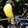 Myiozetetes similis<br /> Bentevizinho-de-penacho-vermelho<br /> Social Flycatcher<br /> Pitogüé mediano - Pitogue'i