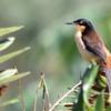 Donacobius atricapilla<br /> Japacanim<br /> Black-capped Donacobius<br /> Angu - Havía guasu