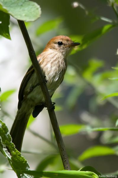 Myiophobus fasciatus<br /> Filipe<br /> Bran-colored Flycatcher<br /> Mosqueta estriada