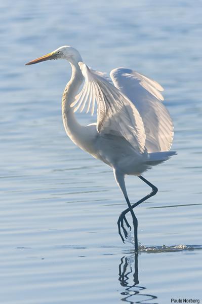 Ardea alba<br /> Garça-branca-grande<br /> Great Egret<br /> Garza blanca - Guyratî